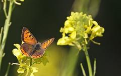 Cuivré commun - IMB_9789 (6franc6) Tags: papillon occitanie languedoc gard 30 milhaud avril 2019 6franc6 vélo kalkoff vae
