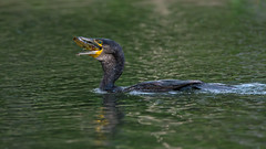 Cormorant fishing (3/3) (Franck Zumella) Tags: cormoran cormorant bird oiseau lake lac water eau reflection reflexion colors couleur color yellow green blue jaune vert bleu nature fish poisson pecher wildlife action dark black sunset eat manger food nourriture eye oeil yeux orange red rouge sony a7s a7 tamron 150600 catfish chat
