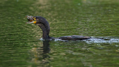 Cormorant fishing (2/3) (Franck Zumella) Tags: cormoran cormorant bird oiseau lake lac water eau reflection reflexion colors couleur color yellow green blue jaune vert bleu nature fish poisson pecher wildlife action dark black sunset eat manger food nourriture eye oeil yeux orange red rouge sony a7s a7 tamron 150600 chat catfish