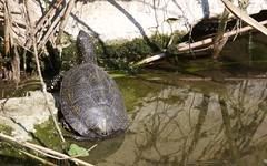 Cistude, tortue de Camargue - IMB_9782 (6franc6) Tags: occitanie languedoc gard 30 milhaud avril 2019 6franc6 vélo kalkoff vae