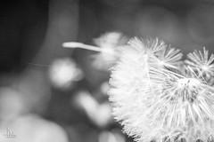 Dandelion Blow (Ukelens) Tags: macro ukelens schweiz swiss switzerland suisse svizzera bern light lightroom licht lights lighteffects lichter lighteffect lichteffekt lichteffekte schatten shadow shadows löwenzahn pusteblume dandelion blackandwhite black white schwarzundweiss schwarzweiss natur nature