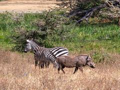 Warthog and zebra , Ngorongoro, Tanzania (Amdelsur) Tags: zebredeburchell tanzanie phacochèrecommun continentsetpays caldeiradungorongoro afrique africa cebra commonwarthog equusburchellii equusquagga ngorongorocaldera phacochoerusafricanus pundamilia tz tza tanzania zebra zèbredesplaines régiondarusha