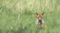 What are you thinking ? (- A N D R E W -) Tags: fox red nature sitting grass field eyes stare bokeh dof depth crop alpha sony mirrorless a7rii a7rm2 metabones iv tamron 150600mm canon spring wild