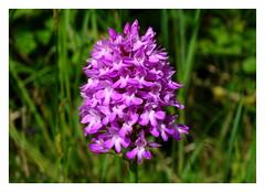 Anacamptis pyramidalis (M.L Photographie) Tags: fleur flower nature wild wildflower france normandie eure flora anacamptis orchis orchidée sony dschx400v