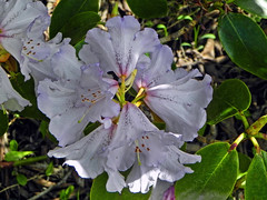 The soft pink !! (Lopamudra !) Tags: lopamudra lopamudrabarman lopa rhododendron flora flower flowers pink soft tender amritganga amritgangavalley himalaya himalayas highaltitude highland valley vale garhwal india uttaranchal uttarakhand uttarkhand trek trekking nature beauty beautiful