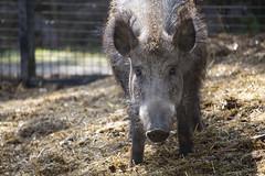 Wild boar female (Korkeasaaren eläintarha) Tags: korkeasaareneläintarha korkeasaarizoo helsinkizoo korkeasaari högholmen eläimet nisäkkäät villisika wildboar