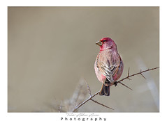 Great Rosefinch (Carpodacus rubicilla) (T@hir'S Photography) Tags: animal animalwildlife asia autumn awe bird branchplantpart brown climate colors day eating feather females finch forest freedom fruit gilgit gilgitbaltistan greencolor horizontal housefinch hunzariver hunzavalley imitation lake lakebogoria nature oneperson outdoors outerspace pakistan people photography pinkcolor plant red resting roseflower scenicsnature sideview sitting speed travel tropicalclimate