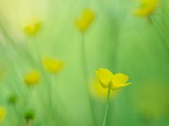 In the meadow (Karsten Gieselmann) Tags: 300mmf4 bokeh em1markii farbe feldweidewiese gelb grün hahnenfus mzuiko microfourthirds natur olympus pflanzen wildblumen buttercup color green kgiesel lawn m43 meadow mft nature plants ranunculaceae wildflowers yellow