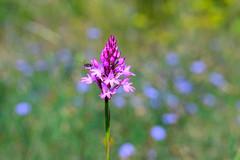 Impressionnisme....et Orchidée. (geolis06) Tags: geolis06 france europe mougins fleur nature nikonz6 nikkorz2470mmf4s nikon anacamptispyramidalis orchidée orchispyramidal anacamptisenpyramide