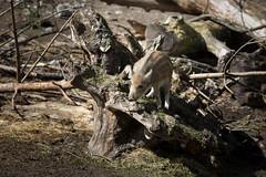 Wild boar piglet (Korkeasaaren eläintarha) Tags: korkeasaareneläintarha korkeasaarizoo helsinkizoo korkeasaari högholmen eläimet nisäkkäät villisika wildboar