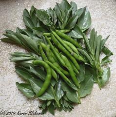 May 31st, 2019 Broad bean pods and shoots (karenblakeman) Tags: cavershamgarden caversham uk broadbeans vegetables food 2019 2019pad may reading berkshire