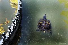 Swim? (Cristian Mauriello) Tags: roma rome villa borghese italia italy turtle tortoise animal nature color green yellow water pond canon light grey