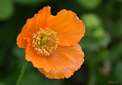 Blowing in the Wind (Eleanor (No multiple invites please)) Tags: flower poppy icelandicpoppy orangeflower busheyrosegarden bushey uk nikond7200 may2019 coth5