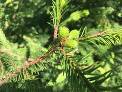 Spruce at Spring (RundgrenR) Tags: kuusi kevät suomi kuusenkerkkä