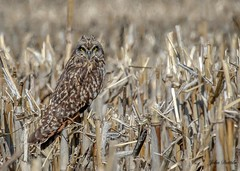 I long to see them again... (flintframer) Tags: indiana usa america raptors short eared owl jackson county wow wildlife nature dattilo harvested corn field canon t3i ef100400mm