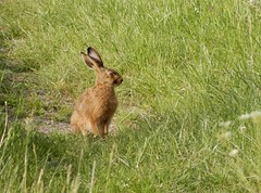 Good hare day! (rockwolf) Tags: brownhare lepuseuropaeus mammal lièvre leveret young shropshire rockwolf