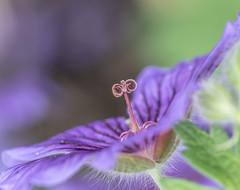 Pride of Nature. (Omygodtom) Tags: wildflower perspective dof d7100 flower flora flickriver macro tamron90mm nature natural nikkor lowkey