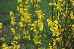 Brem (♥ Annieta ) Tags: annieta mei 2019 sony6000 nederland netherlands aalten gelderland achterhoek allrightsreserved usingthispicturewithoutpermissionisillegal bloem flower fleur flora geel yellow jaune broom