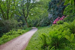Rhododendron and Ferns - Stourhead. (margaretgeatches) Tags: springtime green leaves rhododendrons path trees shrubs bluebells ferns nationaltrustproperty stourhead wiltshire