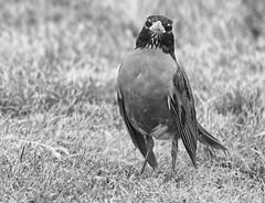 Come at me Bro (kendoman26) Tags: hmm happymonochromemonday hdr nikhdrefexpro2 blackandwhite monochrome nikon nikond7100 nikkor80400 bird americanrobin