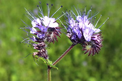 A flower stand of a a scorpionweed. (Bienenwabe) Tags: phacelia scorpionweed hydrophyllaceae phaceliatanacetifolia flower macro flowermacro