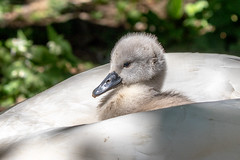 The safest place! (Linda Martin Photography) Tags: abbotsbury dorset cygnet muteswan cygnusolor swannery bird birds naturethroughthelens coth alittlebeauty coth5 ngc specanimal npc