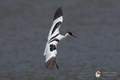 Avocet (Simon Stobart) Tags: avocet recurvirostra avosetta flying north east england uk