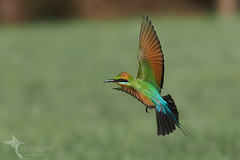 Rainbow Bee-eater (VS Images) Tags: rainbowbeeeater beeeatersinflight meropsornatus meropidae beeeaters birds bird birding bif birdsinflight feathers wildlife wildlifephotography animals avian australia australianbirds australianwildlife nsw nature ngc naturephotography vsimages vassmilevski olympus olympusau olympusinspired getolympus m43 omd