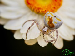 22-05/365_Araña Cangrejo (Dopior) Tags: 2017 araña arañacangrejo galicia loimil pontevedra insecto macros