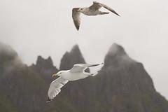 Seagulls in Lofoten (Svein K. Bertheussen) Tags: lofoten raftsundet måker gulls gråmåke larusargentatus europeanherringgull nordland norge norway fjell mountain bird fugl natur nature wildlife dyreliv fugleliv