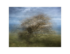 Bow to the North Wind 2 (gerainte1) Tags: yorkshire coast trees hawthorn multiexposure colour