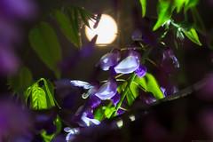 20190419_f13 : 藤と満月 (G-TAKI) Tags: japan fukuoka 日本 福岡 yanagawa 柳川 中山の大藤 フジ 藤 wisteria flower night moon 月