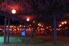 20190419_f12 : 藤ライトアップ (G-TAKI) Tags: japan fukuoka 日本 福岡 藤 フジ wisteria flower night yanagawa 柳川 中山の大藤