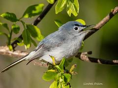 Blue-gray Gnatcatcher (Lindell Dillon) Tags: bluegraygnatcatcher birds birding neotropical nature oklahoma wildoklahoma