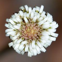 Lagenophora huegelii (jeans_Photos) Tags: asteraceae lagenophorahuegelii lagenophora wandoonationalpark