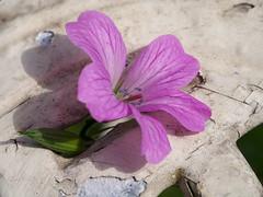 190603 009 (vintage 1953 & wackymoomin) Tags: geranium summer june garden olympus em10mkii silkypix raynox dcr250 table rust decay cracks