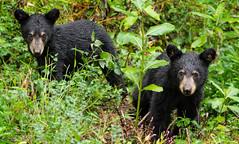 Black Bear Twins (KRHphotos) Tags: shenandoahnationalpark wildlife virginia blackbear nature