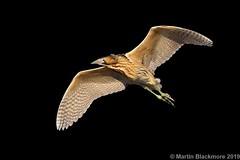 Bittern in flight I36337 (wildlifetog) Tags: blackmore britishisles bird birds british brading mbiow martin marshes isleofwight inflight uk wild wildlife wings rspb