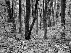 Morning in the Forest (mswan777) Tags: tree wood forest landscape outdoor nature scenic trail hike plant leaf morning quiet apple iphone iphoneography mobile bridgman michigan ansel monochrome black white