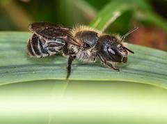 Small Bee in my garden (ukmjk) Tags: insect bee nikon nikkor d750 tc17e 105vr flash cokin macro