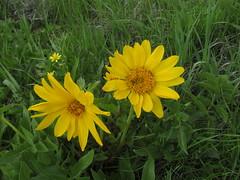 IMG_1526 (yellowstonehiker) Tags: dalepeak wasatchfront spring utah june dayhike dayhikes wasatchmountains wasatchpeaks wildflowers wildflower arrowleafbalsamroot cutleafbalsamroot