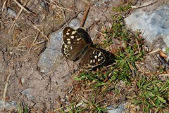 Tourin House - Speckled Wood Butterfly (Errols Cuz) Tags: tourinhouse tourin cappoquin countywaterford ireland teresaflynn butterflies speckledwoodbutterfly