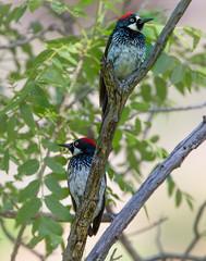 Acorn Woodpecker (Eric Gofreed) Tags: acornwoodpecker arizona cavecreekcampgrounds cocoinocounty woodpecker