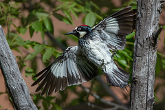 acorn Woodpecker (Eric Gofreed) Tags: acornwoodpecker cavecreekcampgrounds cocoinocounty woodpecker