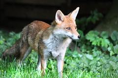 Gardenfox (Sue Elderberry) Tags: fox redfox garden vulpusvulpes vixen vulpus urbanfox urbanwildlife urbannature mammal animal fuchs rotfuchs sunshine spring