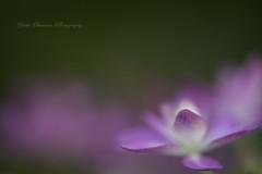 紫陽花 hydrangea (yoko.wannwannmaru) Tags: dsc0037 紫陽花 hydrangea ngc npc