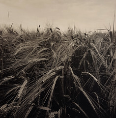 Barley field (Antonio's darkroom) Tags: hasselblad 501 trix pyrocathd selectsepia moersch catechol fb se1 selenium mt3 mt2 thiourea carbon barley