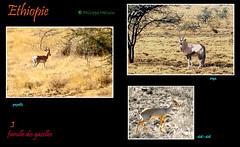 Dans la famille gazelle , je choisis l........ (philippedaniele) Tags: ethiopie animaux gazelles antilopes oryx dikdik gazelle afar awash
