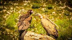 Buitre Leonado & Buitre negro (Aitor Guerrero) Tags: buitre naturaleza natural ave avesdeespaña avesdecataluña pirineo animales bird vulture nature animals montain