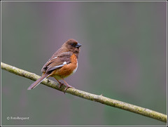 Female Eastern Towhee (FotoRequest) Tags: birds nature animals wildlife